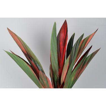 Importwala Red Cordyline -1401-195